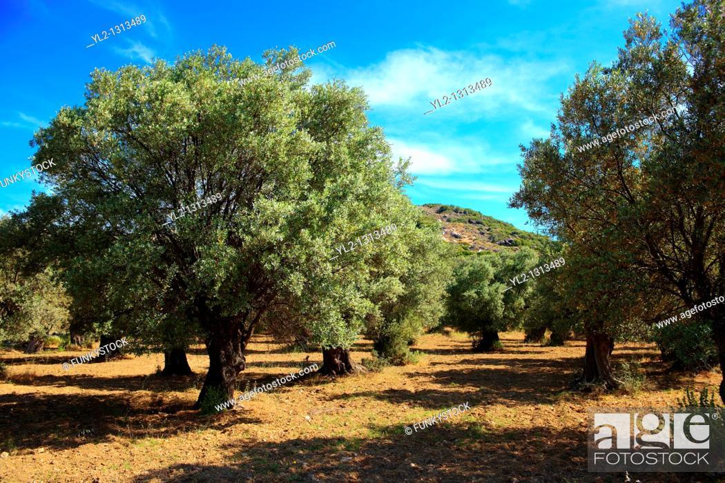 Stock Photo: Olive trees, Naxos, Cyclades Islands, Greece.