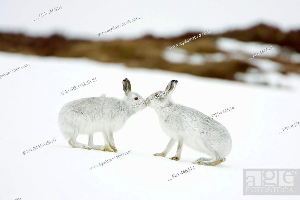 Stock Photo: Mountain Hare (Lepus timidus) two animals in white winter pelage (coat) touching noses in form of greeting. Scotland.