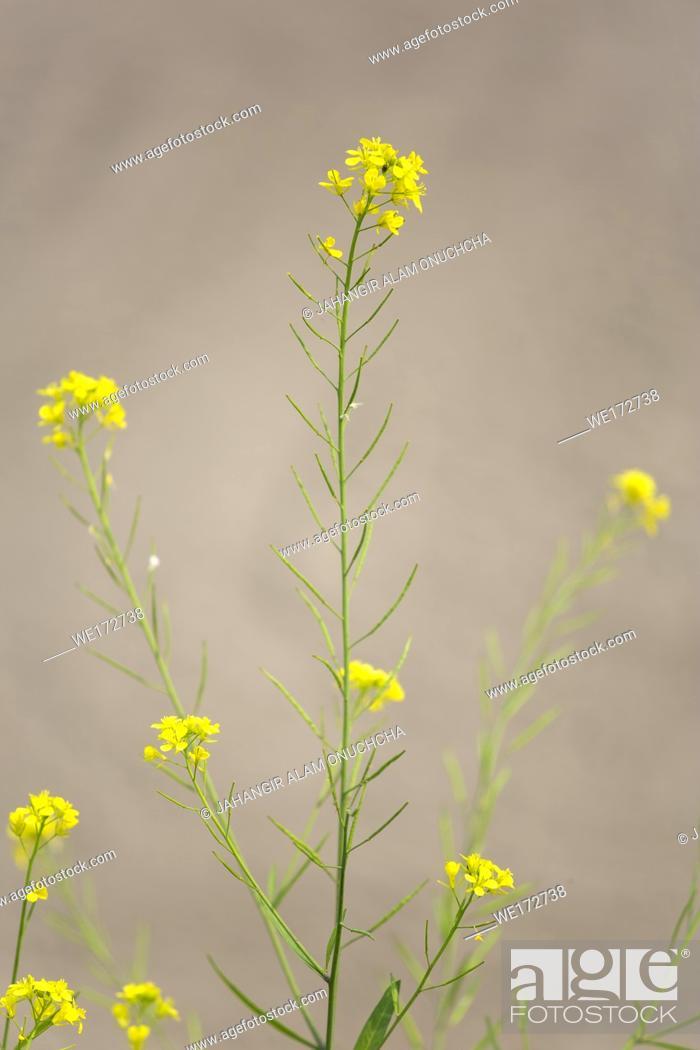 Stock Photo: Flaxseed tansy mustard, herb Sophia (Descurainia sophia), in front of potato fields, Munshigonj, Bangladesh.