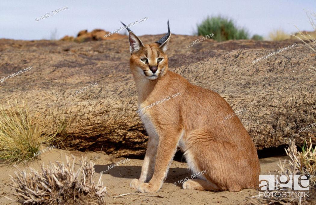 Stock Photo: Caracal (Felis caracal). Augrabies Falls National Park, N. Cape. South Africa.