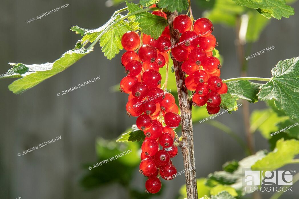 Stock Photo: Red Currant (Ribes rubrum), ripe fruit on a bush. Germany.