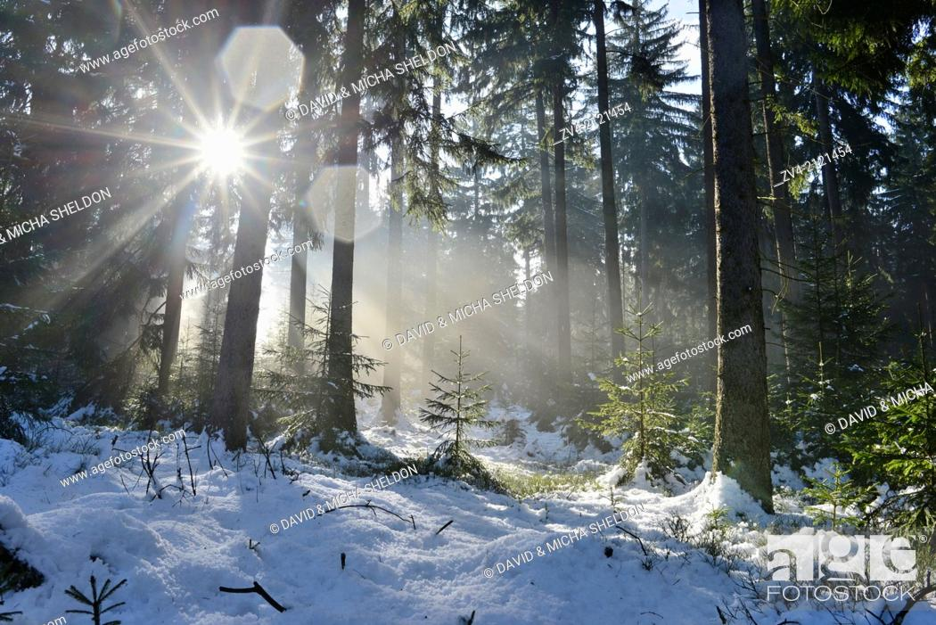Stock Photo: Landscape of a forest with Norway Spruces (Picea abies) in winter at snow melt, Germany.