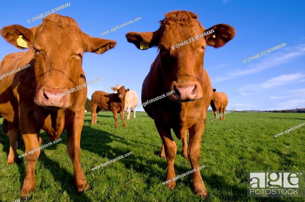 Stock Photo: uk, england, Devon, north exmoor cattle closeup.