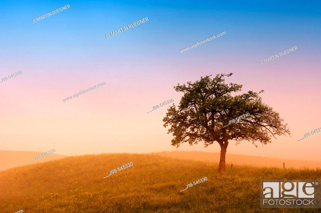 Stock Photo: Fruit tree at morning mood (sunrise). Kanton Zürich (Canton Zurich), Switzerland, Europe.
