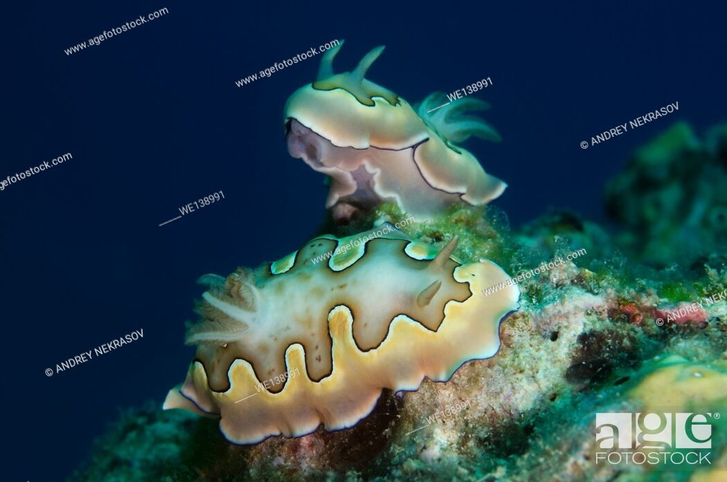 Stock Photo: Two nudibranch or sea slug Co's Goniobranchus (Chromodoris coi) South China Sea, Redang, Malaysia, Asia.