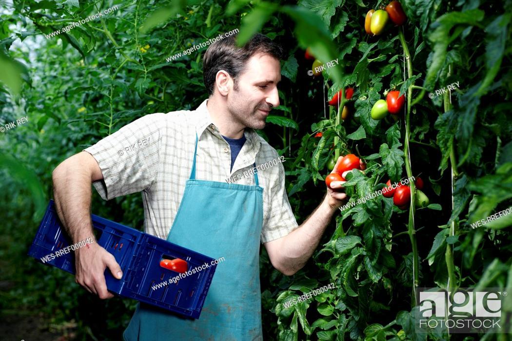 Stock Photo: Germany, Bavaria, Munich, Mature man harvesting tomatoes in greenhouse.