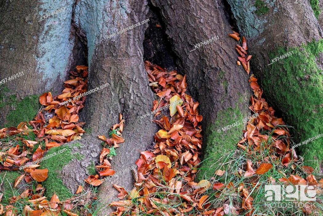 Stock Photo: Beech tree in autumn.