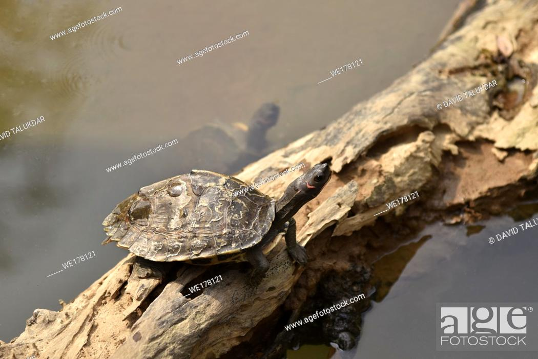 Stock Photo: Assam Roofed Turtle also known as Sylhet Roofed Turtle bask in the sun.