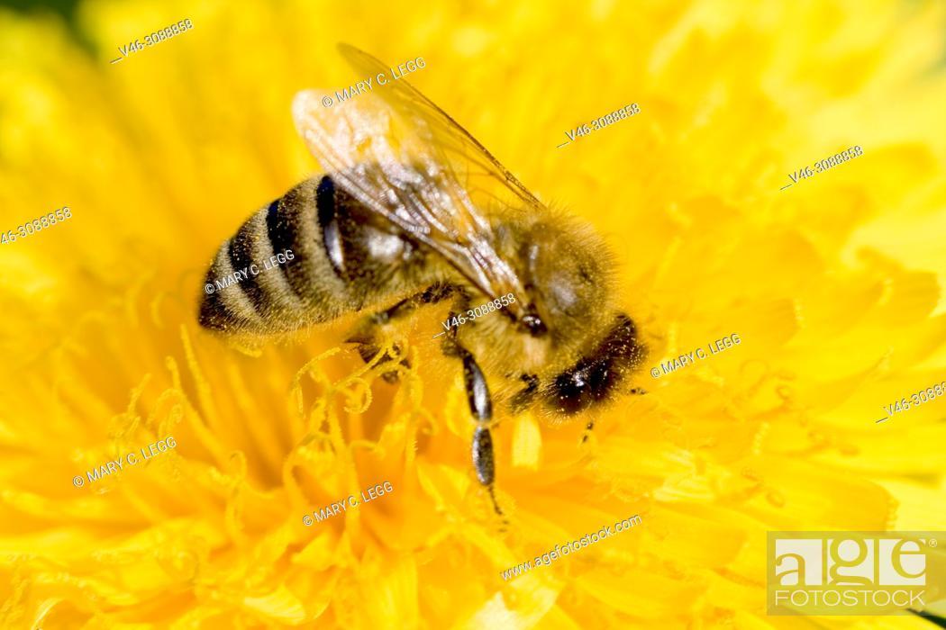 Stock Photo: Honey Bee, Apis mellifera.