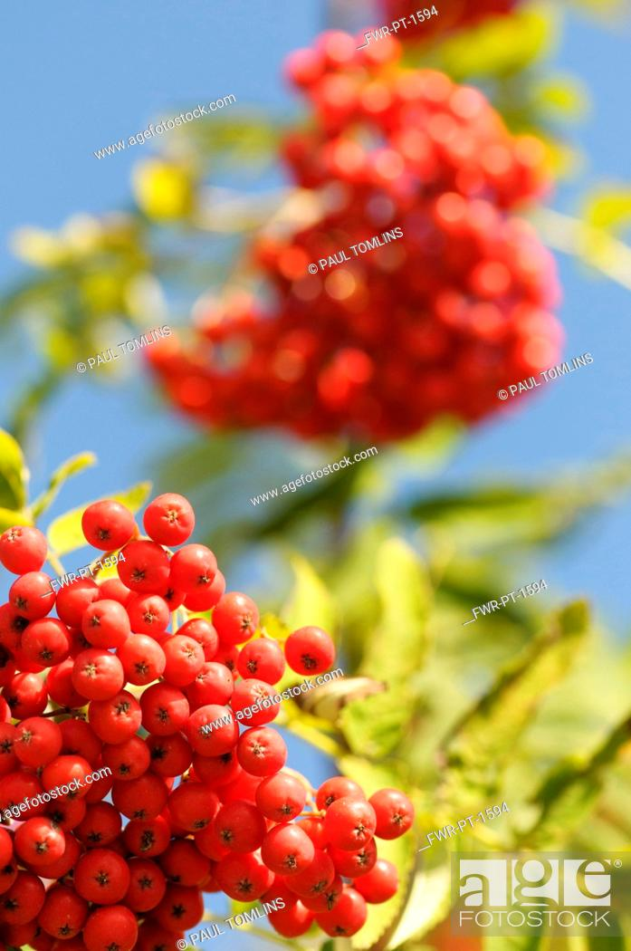 Imagen: Rowan, Sorbus aucuparia, Mass of red coloured berries growing on the plant.-.