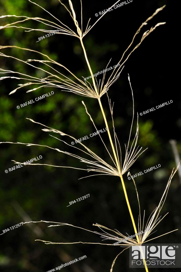 Stock Photo: Smooth bromegrass, Bromus inermis. Family Poaceae. Torrelles de Llobregat. Barcelona. Catalonia. Spain.