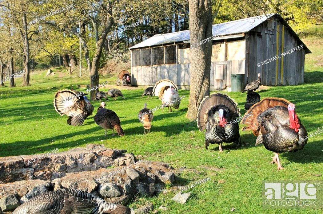 Stock Photo: Free roaming turkeys, The Ruckle Farm, Ruckle Provincial Park, Saltspring Island, British Columbia, Canada.