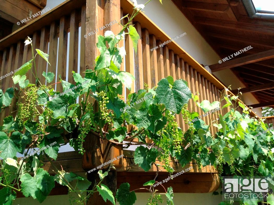 Imagen: wine climbs up on the balcony railing.