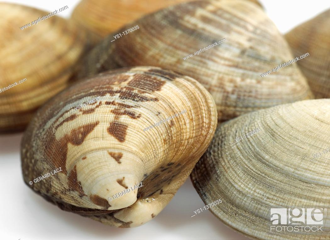 Stock Photo: CLAMS venerupis sp AGAINST WHITE BACKGROUND.