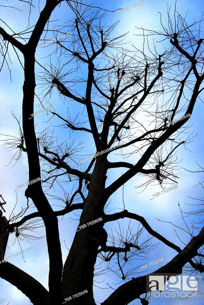 Stock Photo: A London Plane Tree Platanus X Acerifolia on the banks of the River Thames in London, England, gaunt in Winter sunshine  Plane Trees are found everywhere in the.