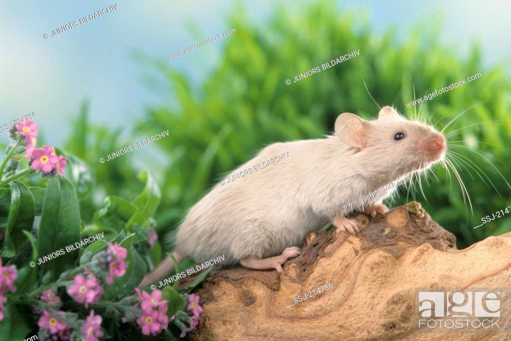 Stock Photo: Fancy Mouse standing on a log. Germany.