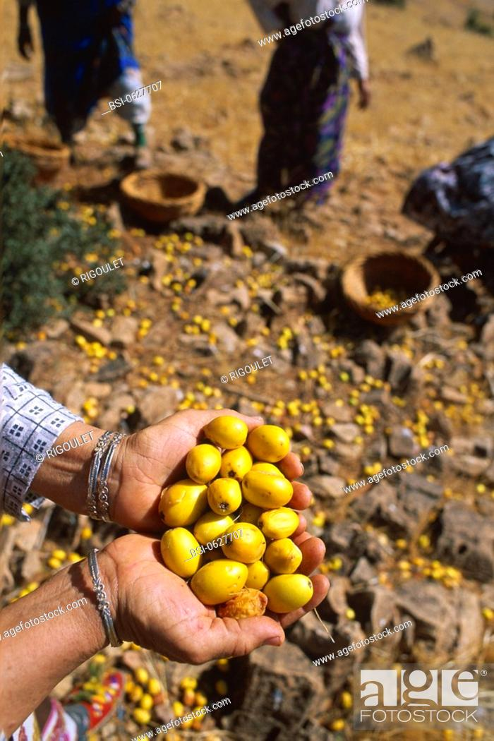 Stock Photo: Photo essay about argan oil in Morocco : from the cropping to the bottling. Cropping of the argans in Ait Baha, in the south-west of Morocco.