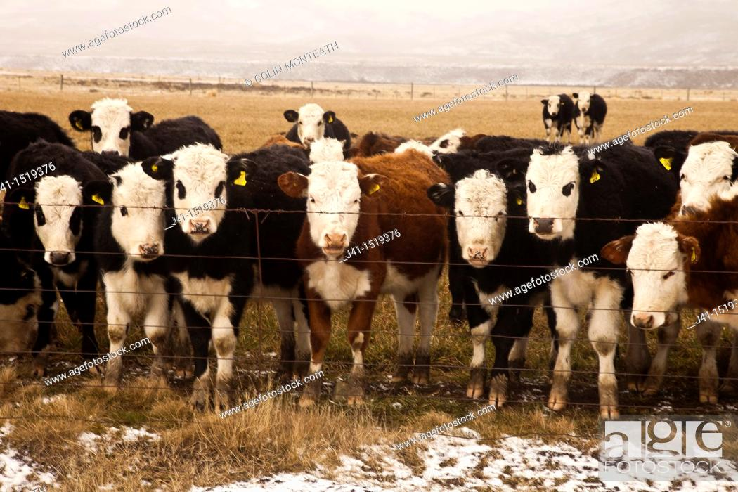 Stock Photo: Curious cattle peer through fence, winter, central Otago, South Island, New Zealand.