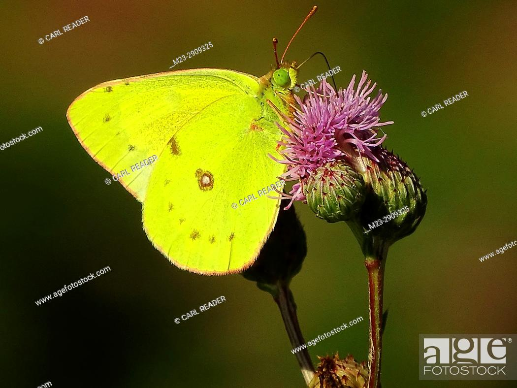 Stock Photo: A little yellow butterfly, pyrisitia lisa, on bull thistle.