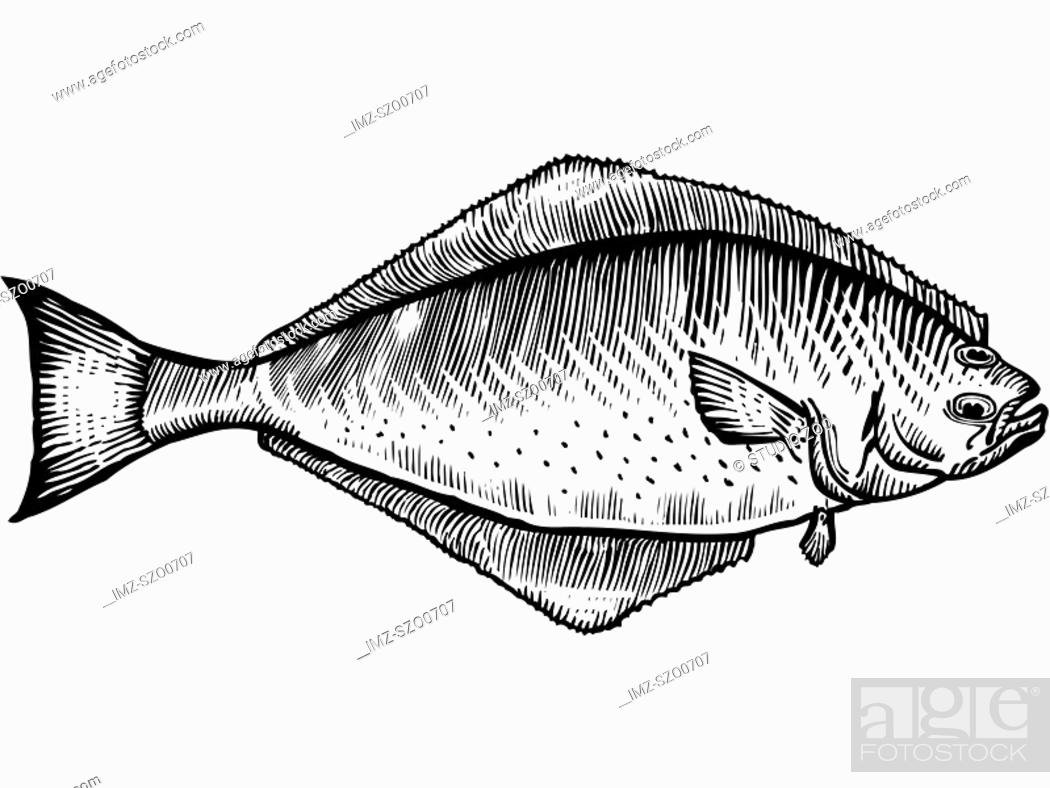 Stock Photo: A black and white drawing of a halibut.
