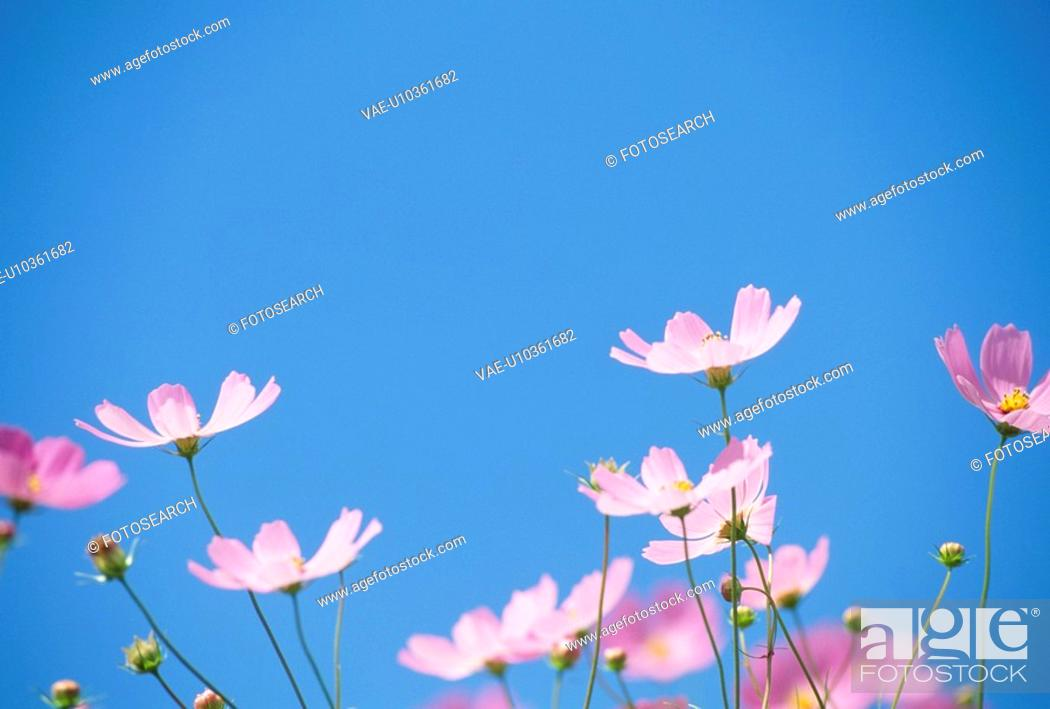 Stock Photo: Cosmos And Blue Sky.