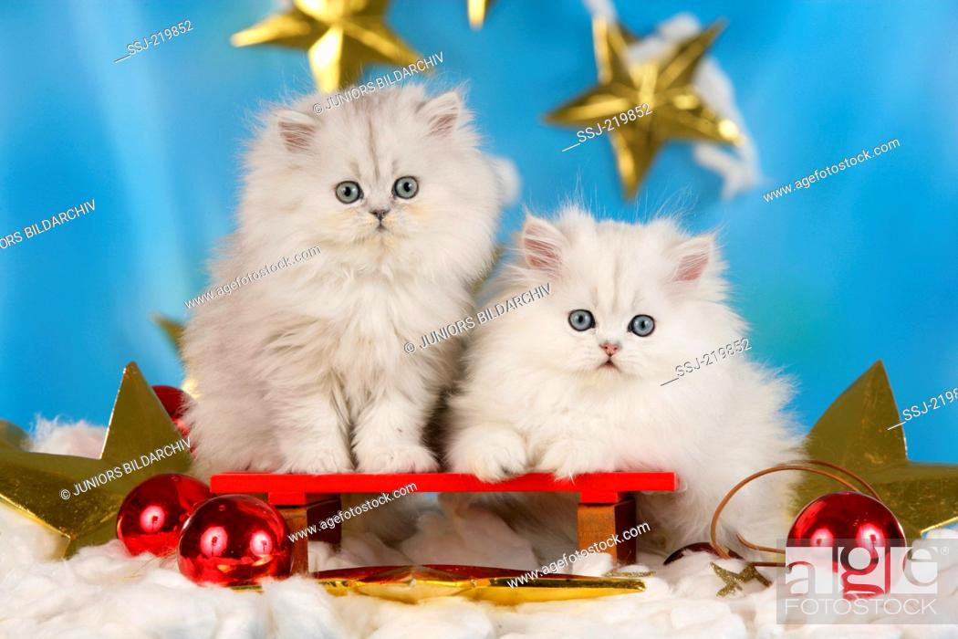 Stock Photo: Persian Longhair. Two kittens in Christmas decoration with stars. Germany.