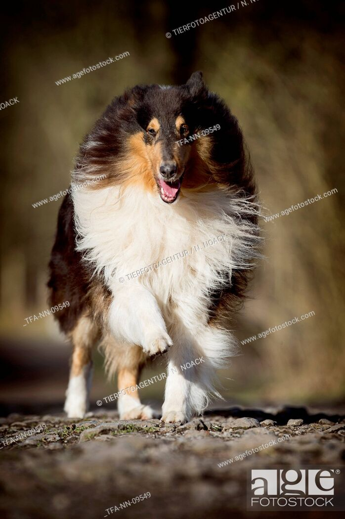 Stock Photo: running longhaired Collie.