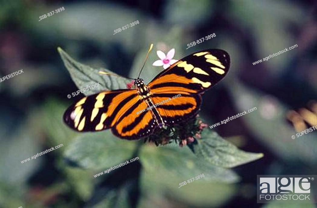 Stock Photo: Isabella Tiger butterfly Eueides isabella pollinating flowers.