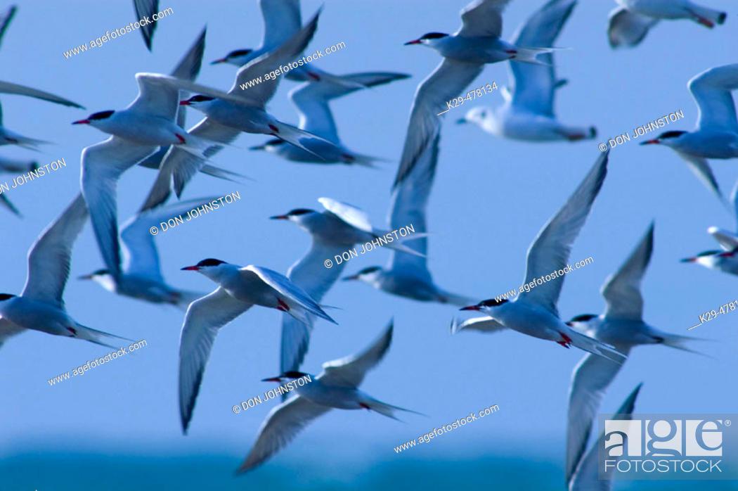 Stock Photo: Terns in flight over Pt. Pelee tip. Pt. Pelee NP, ON, Canada.