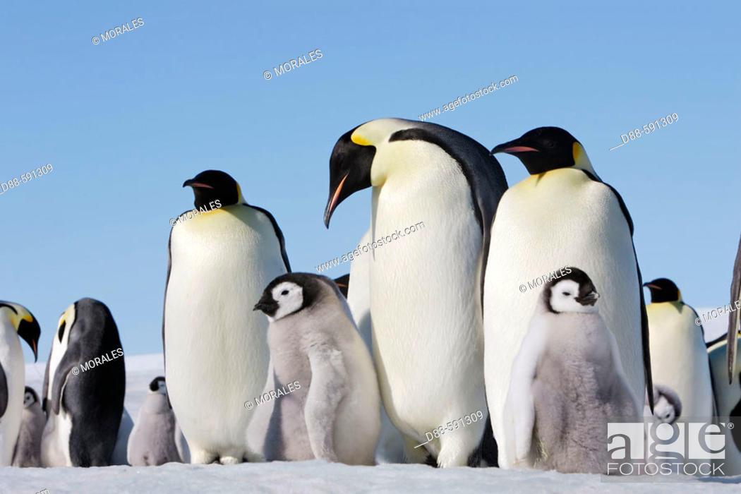 Stock Photo: Emperor Penguins (Aptenodytes forsteri). Snow Hill Island. Antarctica.