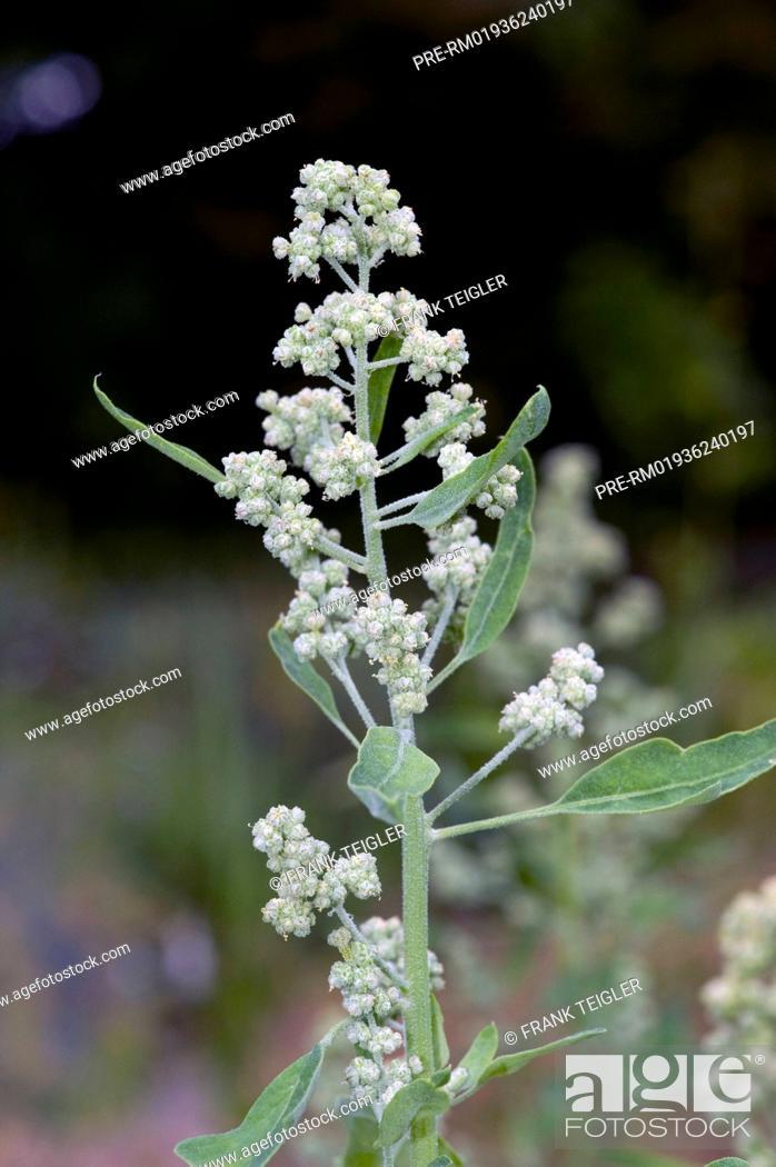 Stock Photo: Quinoa, Chenopodium quinoa / Quinoa, Chenopodium quinoa.