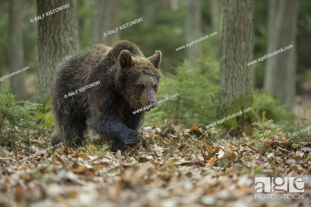Stock Photo: European Brown Bear ( Ursus arctos ), young cub, walks through a natural mixed forest, in its typical habitat, Europe.