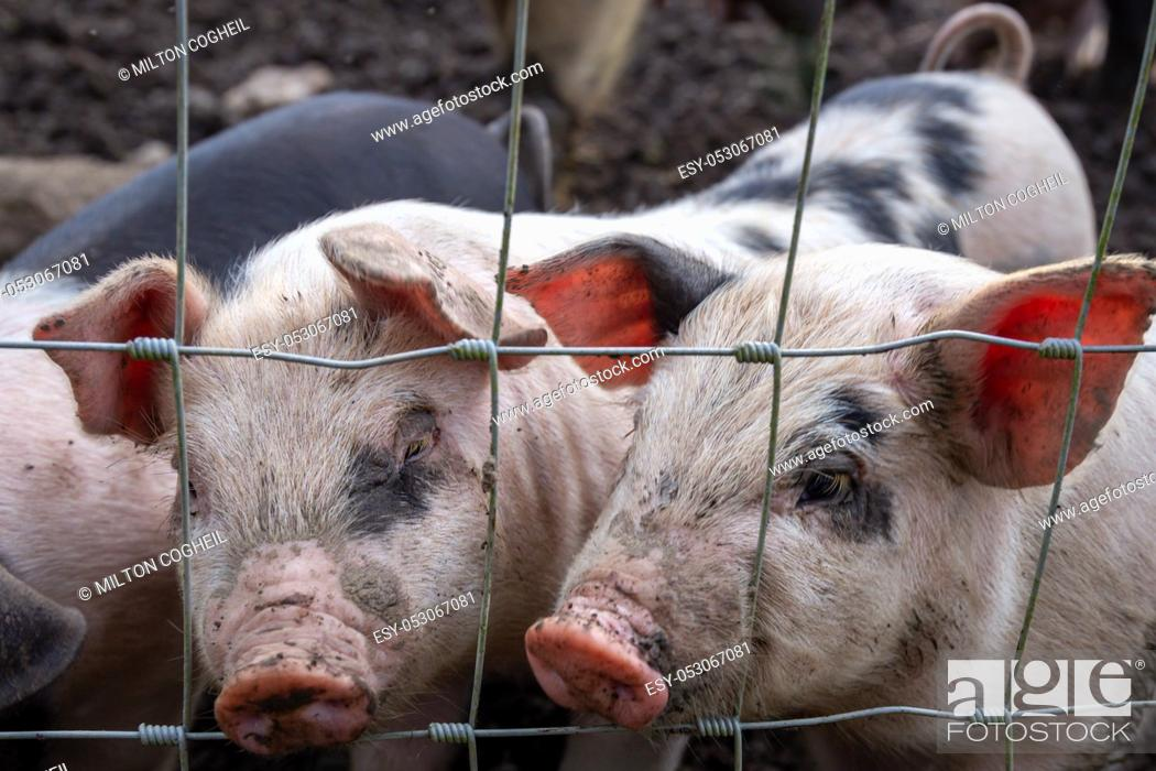 Stock Photo: Saddleback piglets (sus scrofa domesticus) behind the fencing of a pigsty.