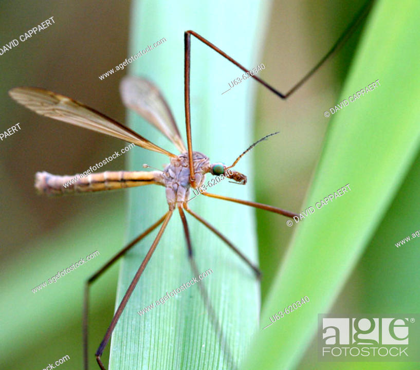 Stock Photo: Crane fly. Tipulidae. Michigan, USA.
