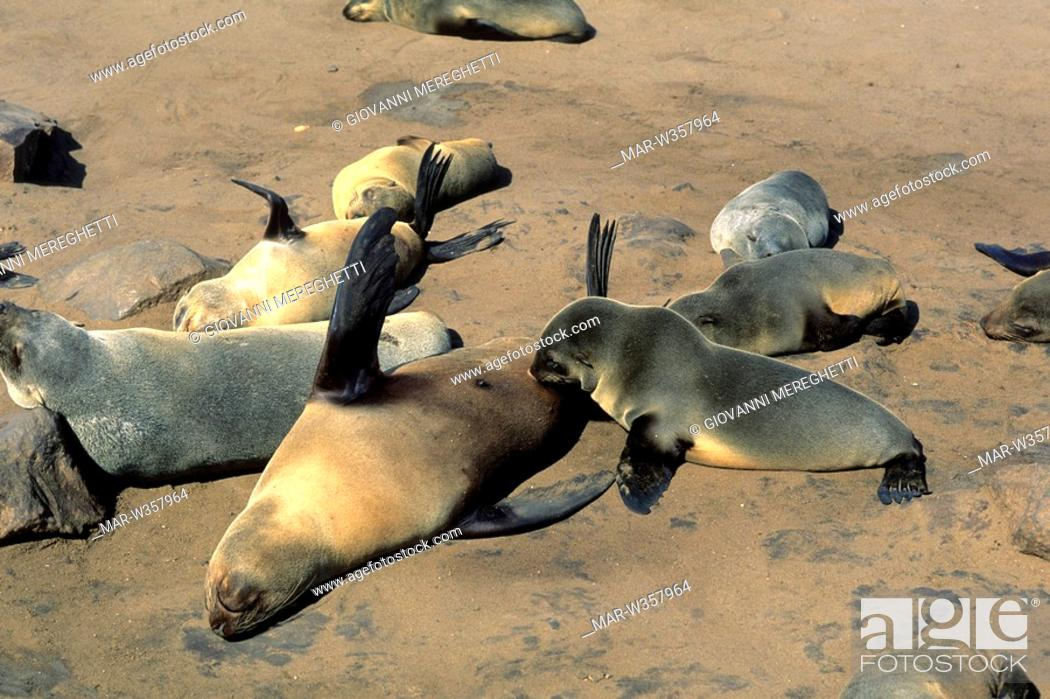 Stock Photo: sea lions, namibia, africa.