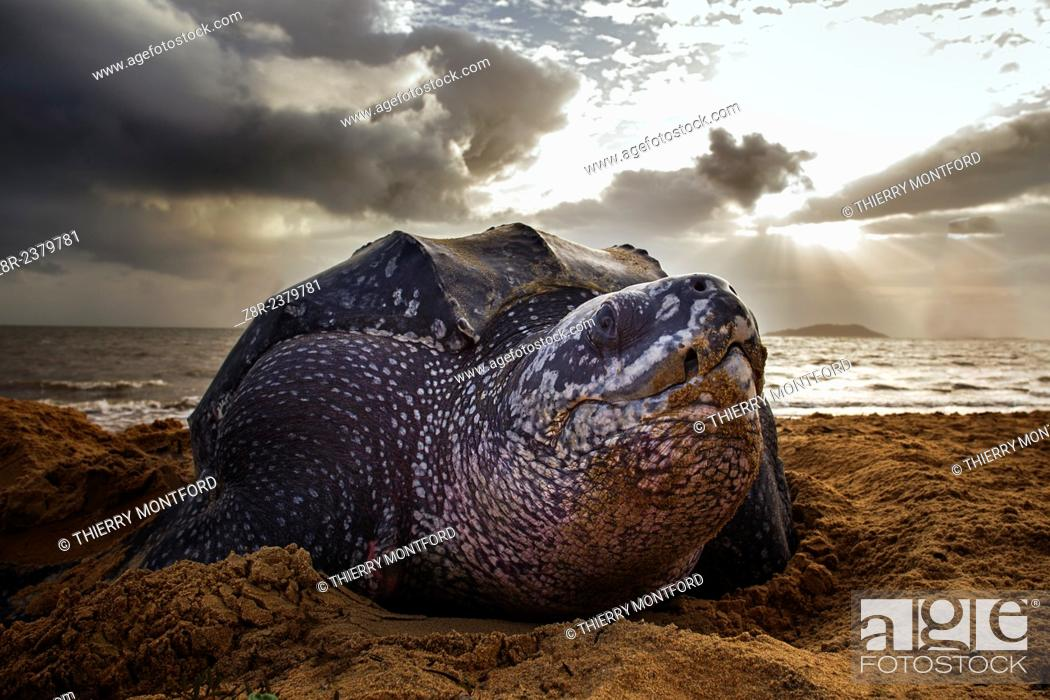 Stock Photo: Dermochelys coriacea. Leatherback turtle on the beach. Rémire-Montjoly. Spawning. French Guiana.
