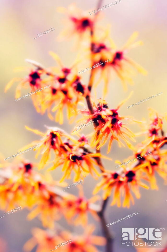 Photo de stock: Witch Hazel (Hamamelis intermedia). February 2006. Maryland, USA.