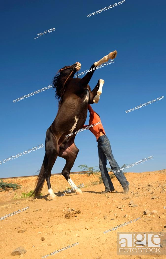 Stock Photo: Keeper with domestic horse jumping, Gujarat, India.