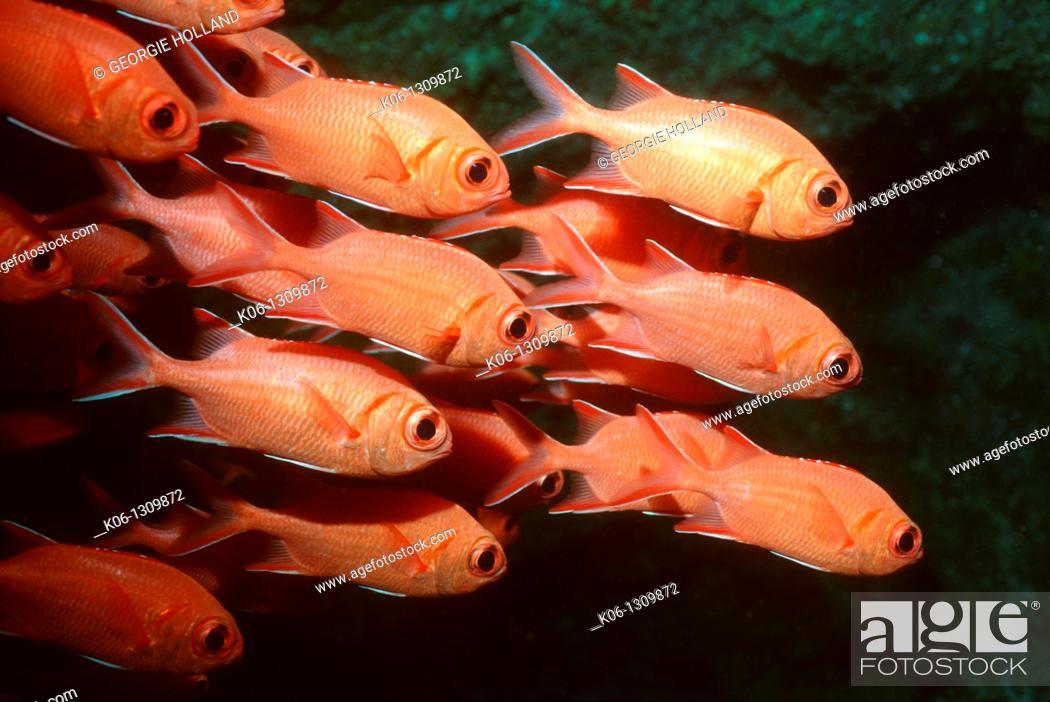 Stock Photo: Bigscale soldierfish Myripristis berndti school  Rinca, Komodo National Park  Indonesia.