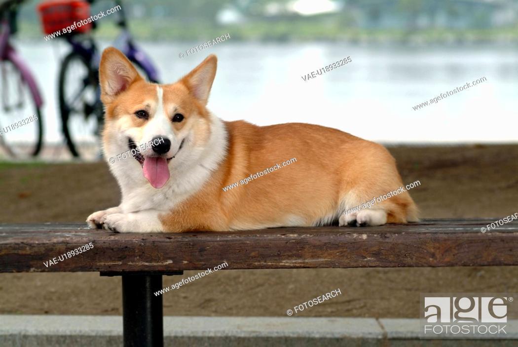 Stock Photo: canines, animal, domestic, corgi, dog, pet.