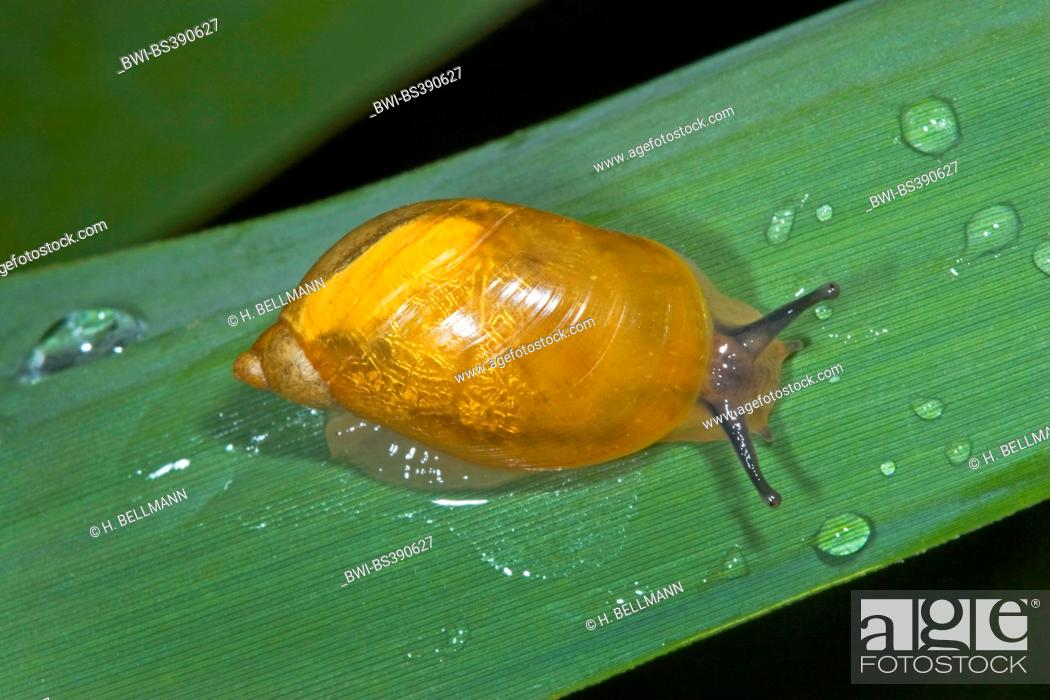 Rotten Amber Snail Large Amber Snail European Ambersnail Succinea