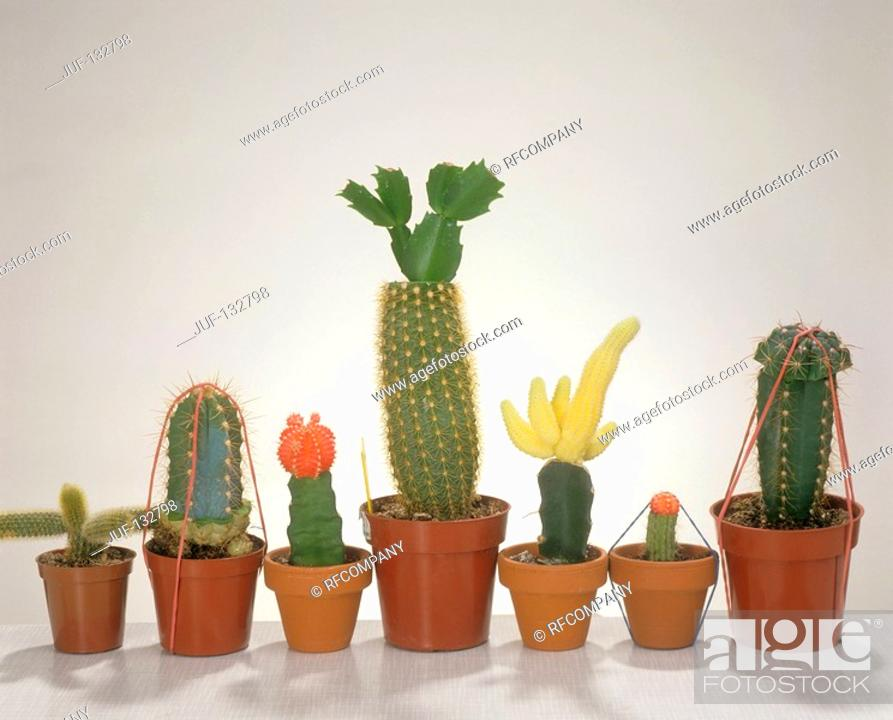 Stock Photo: different grafted cacti.