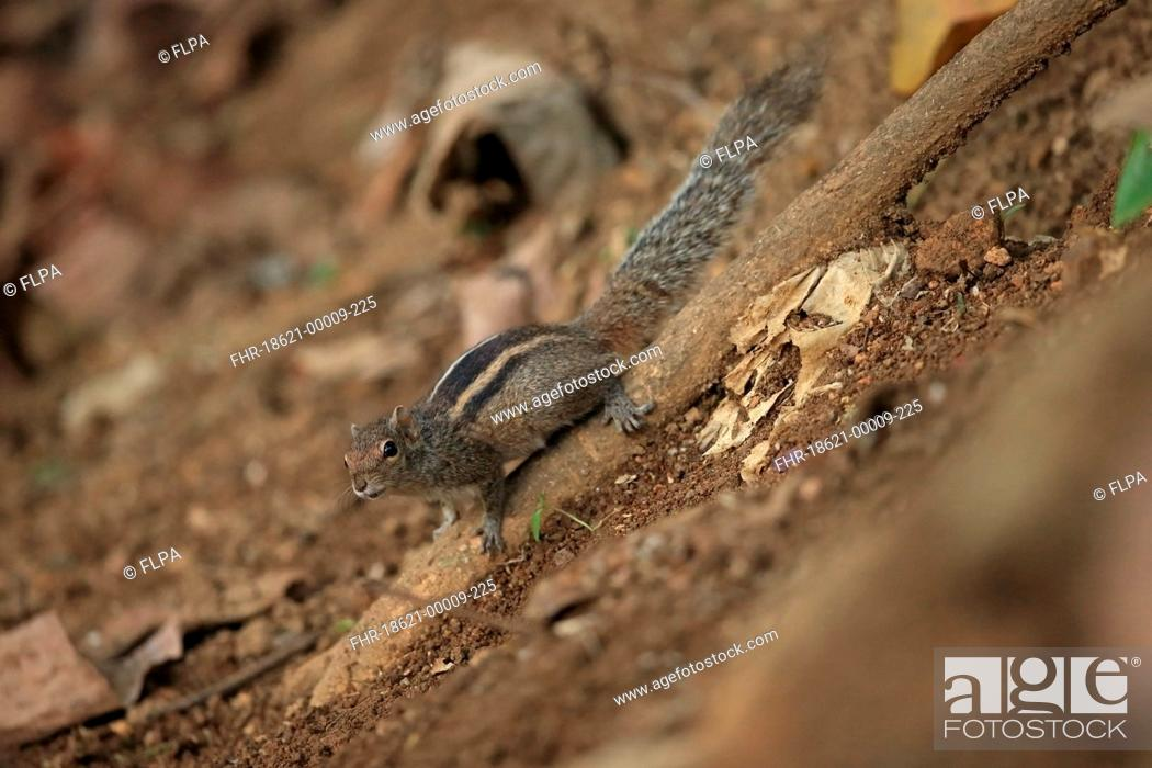 Stock Photo: Indian Palm Squirrel (Funambulus palmarum) adult, clinging to root on slope, Sri Lanka, February.