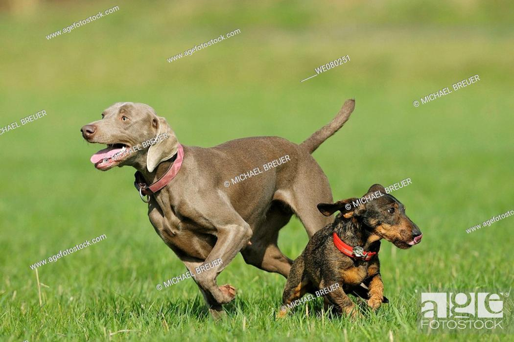 Stock Photo: Hounds, Weimaraner and Wire haired dachshund, Germany.
