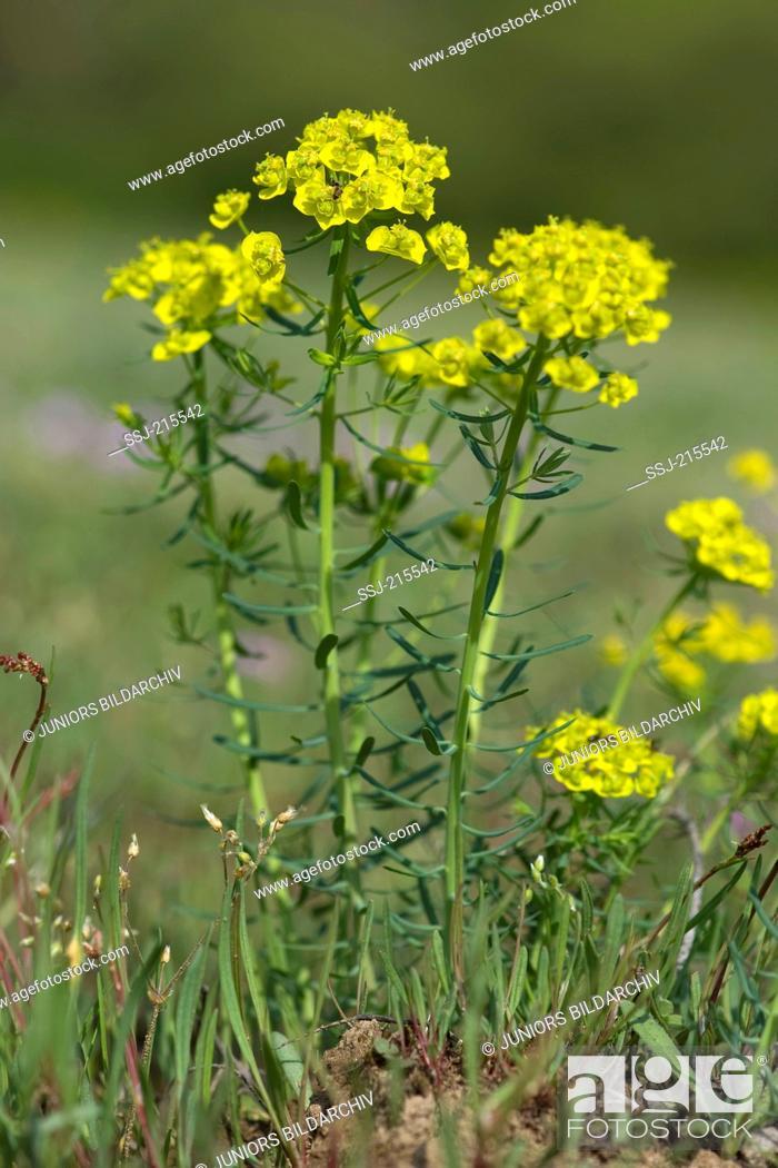 Stock Photo: Cypress Spurge, Milkweed (Euphorbia cyparissias), flowering plant. Germany.