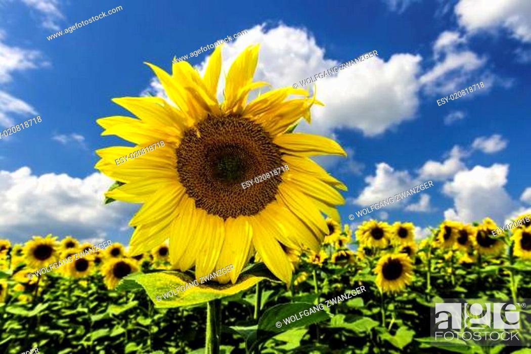 Stock Photo: Sunflower on blue sky.