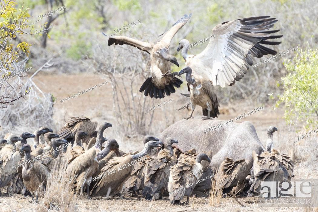 Stock Photo: White-backed vulture (Gyps africanus and cape vulture (Gyps coprotheres) fighting over carcass, Kruger national park, South Africa.