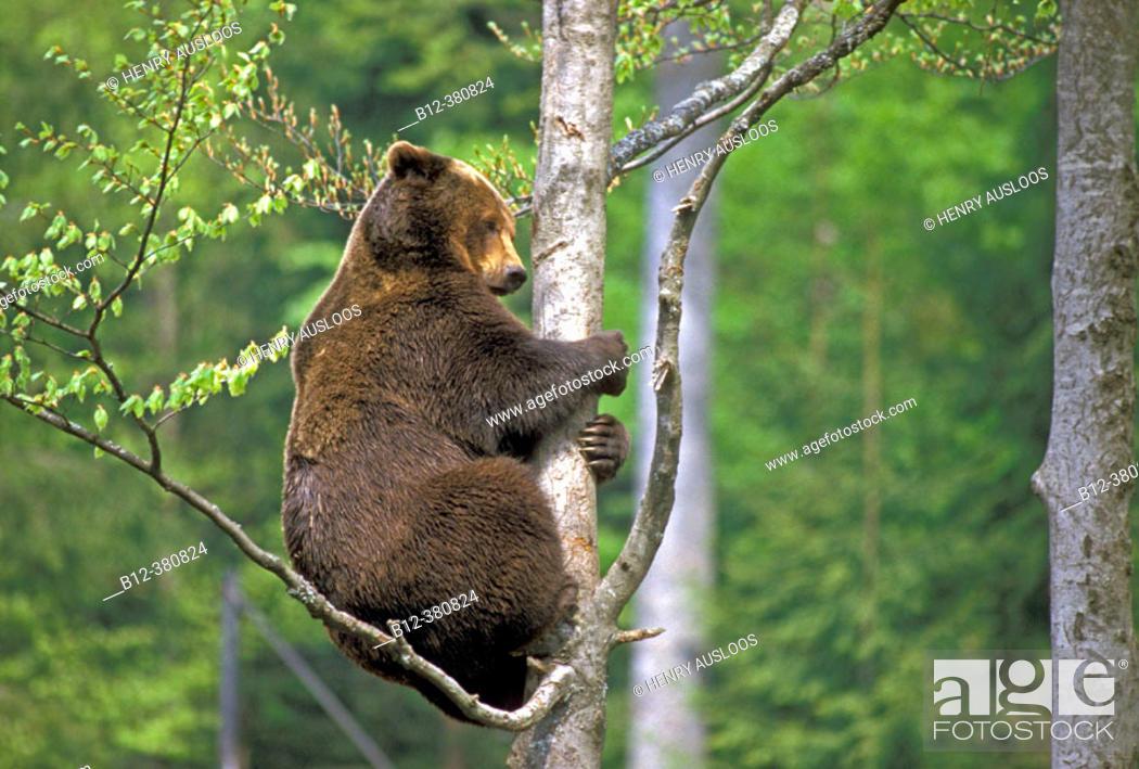 Stock Photo: European Brown Bear (Ursus arctos). Climbing a Tree.