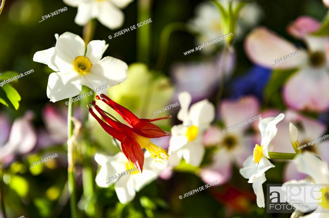 Photo de stock: A red columbine flower with daffodils in the background.