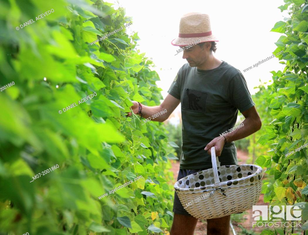 Stock Photo: Mediterranean organic farming, vegetable garden, Riojan red beens from Anguiano. La Rioja, Rioja wine región, Spain. Europe.